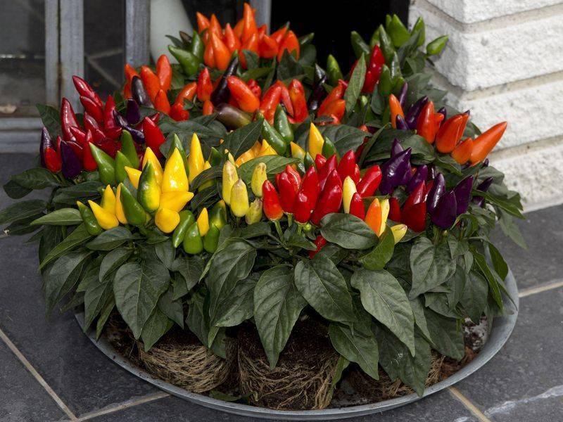 Растение со жгучими стручками, или как зимой вырастить острый перец на подоконнике