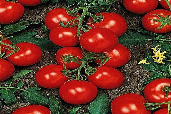 Сорт универсального назначения — томат ричи