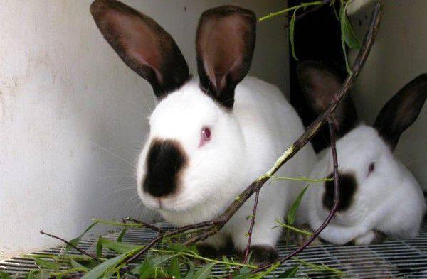 Какие ветки можно давать кроликам: советы и рекомендации по кормлению