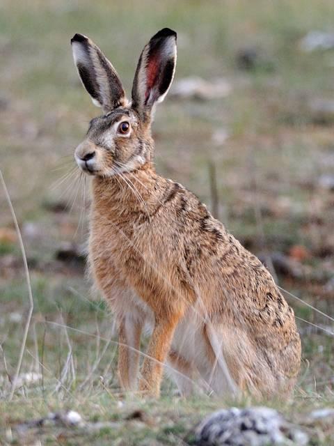 Особенности зайца русака