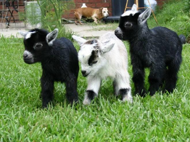 Камерунские козы карликовой породы: характеристики, описание и фото