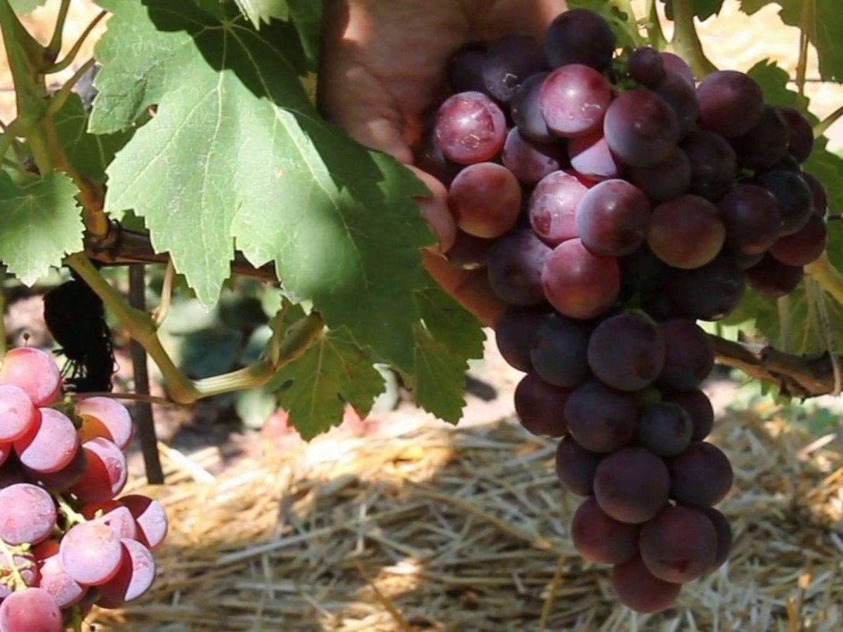 Виноград сорта гала, особенности выращивания и ухода за кустами