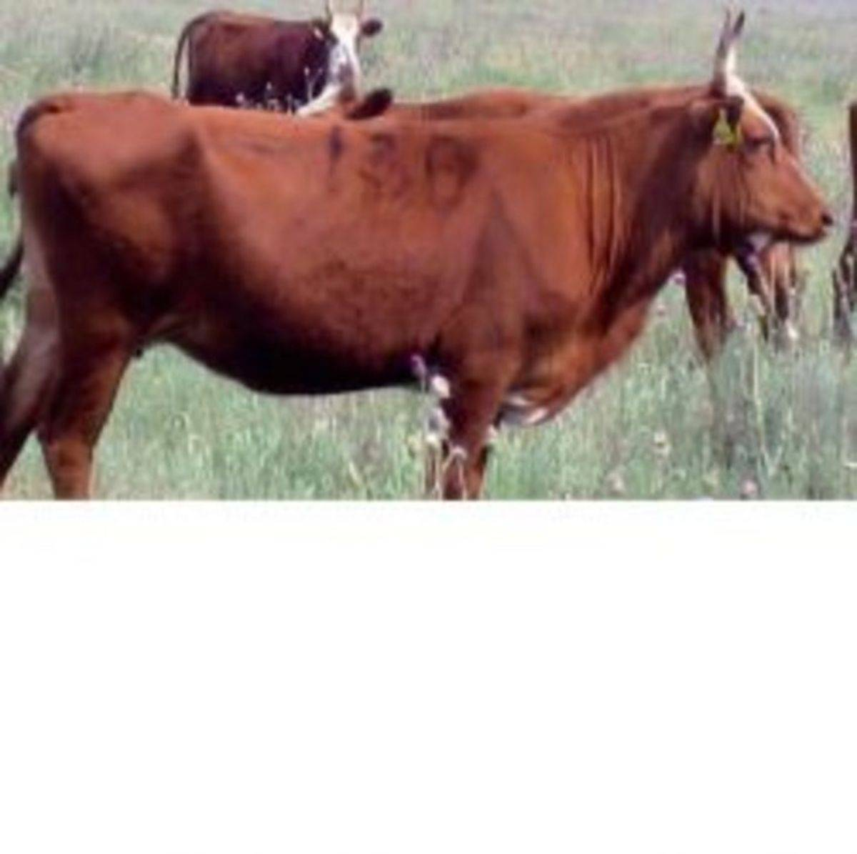 Калмыцкая корова: характеристики породы, преимущества и недостатки, правила ухода