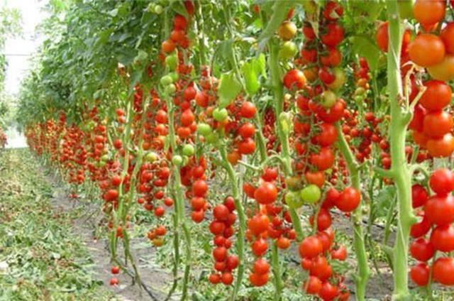 Как использовать золу для помидоров в качестве удобрения?