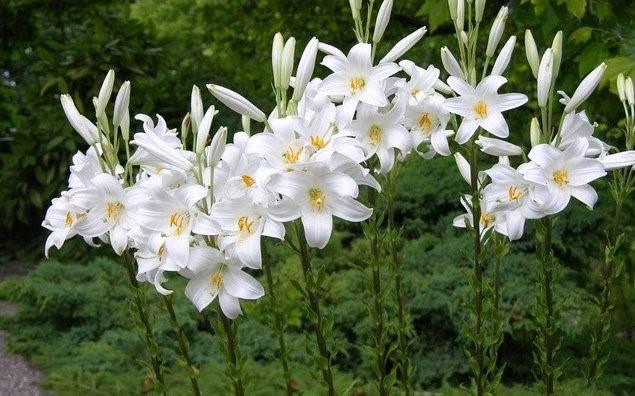 Пересадка лилий после цветения, обрезка и подкормка