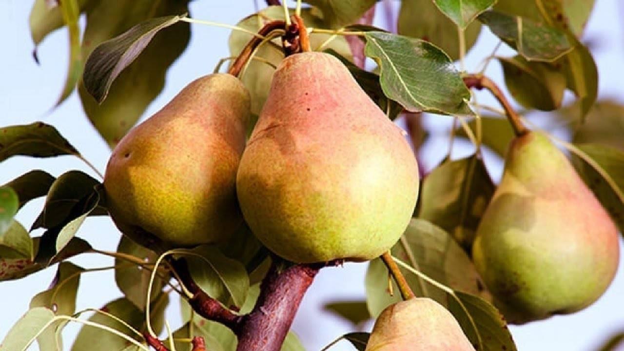 Выращиваем грушу: посадка, уход, обрезка, сорта