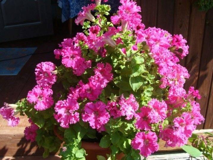 Вегетативная петуния: что это такое, как происходит размножение, чем характерна посадка и уход, как сохранить растение зимой и как выглядят сорта на фото?дача эксперт