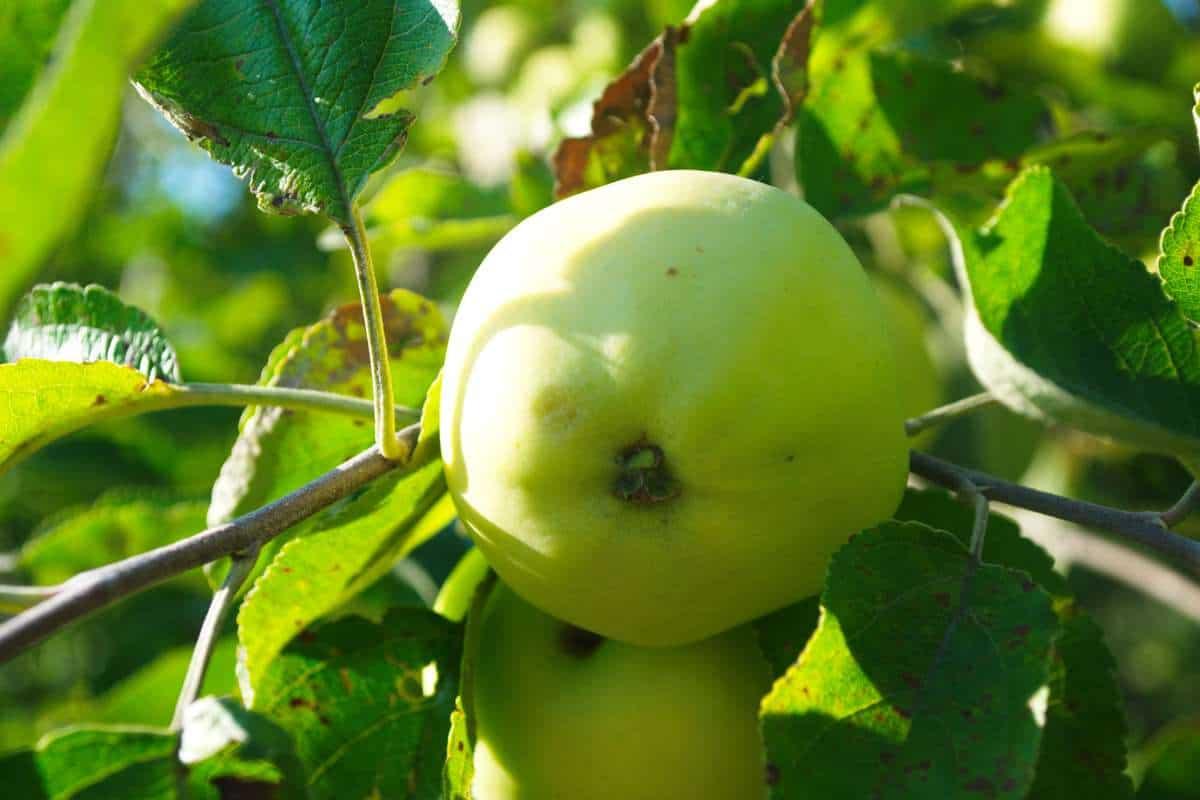 Самый распространенный в европе сорт яблонь — папировка