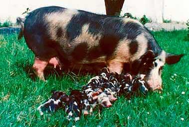 Порода свиней миргородская