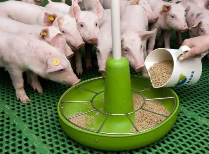 Чем кормить поросят: нормы кормления, составление рациона