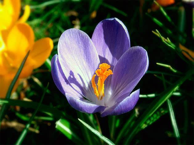 ᐉ цветы крокусы: посадка и уход в открытом грунте, фото, выращивание, когда выкапывать - roza-zanoza.ru
