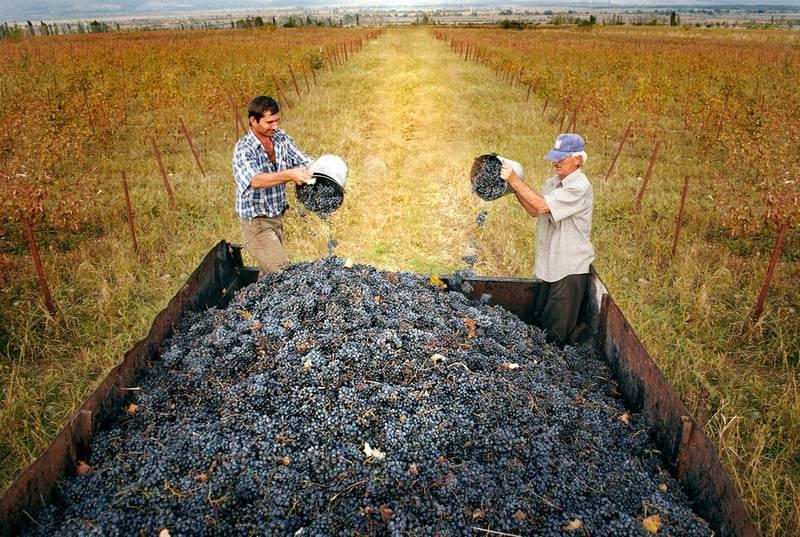 Сорт винограда сувенир — описание и особенности выращивания