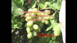 Алекса — описание сорта винограда и особенности выращивания