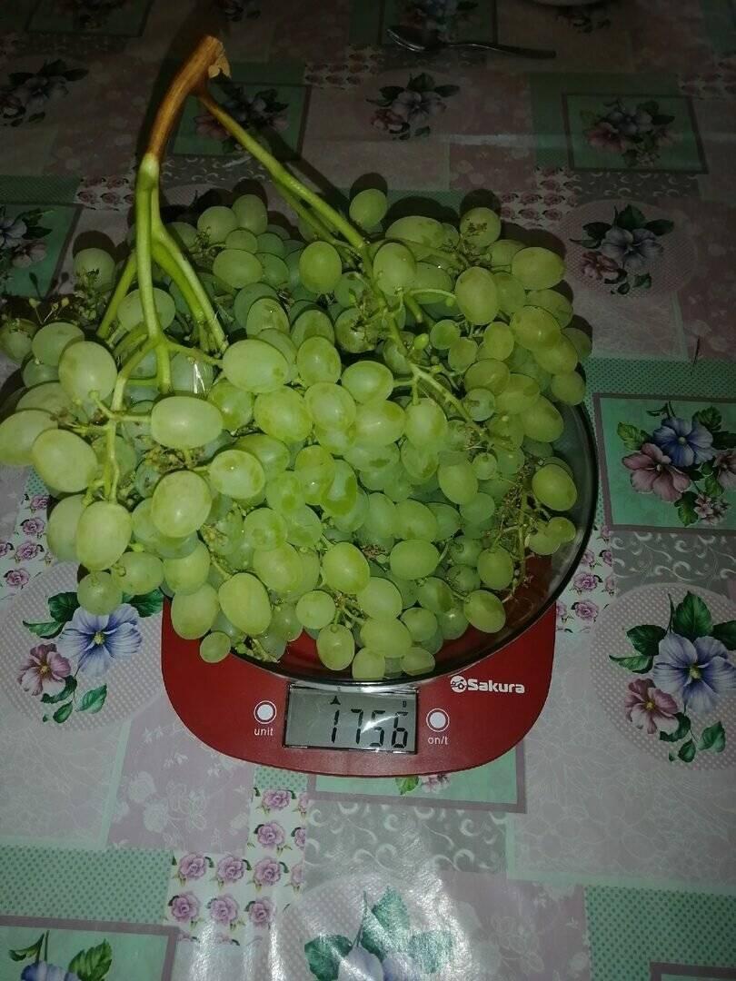 Виноград байконур, фото, описание и отзывы