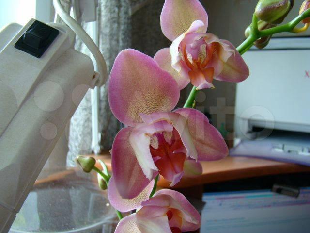 Орхидея фаленопсис бабочка: фото, чем отличается, разновидности