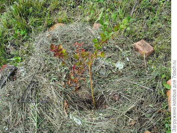 Что делать, если у садовой голубики покраснели листья?