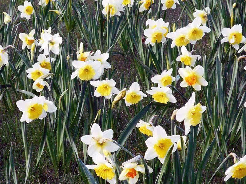 Когда можно пересадить тюльпаны на другое место (летом, весной, осенью)