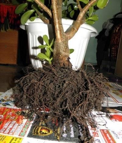 Денежное дерево: как пересадить в домашних условиях? - sadovnikam.ru