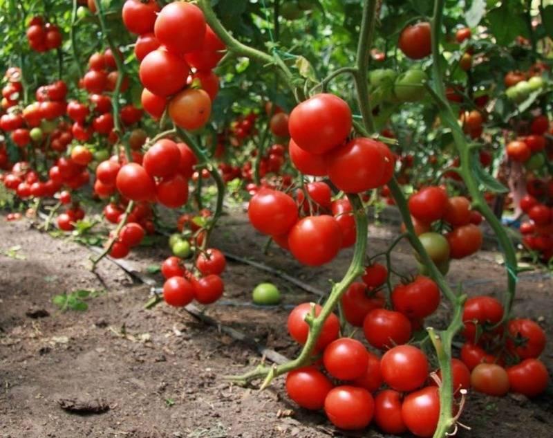 Посадка томатов по методу галины кизимы и советы по выращиванию с видео