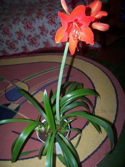 Комнатная лилия: уход в домашних условиях (+фото)