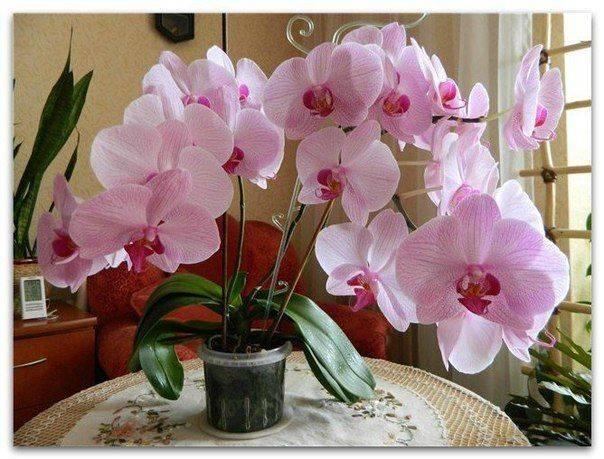 Что делать, если орхидея засохла?