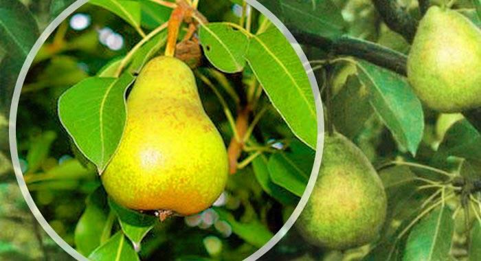 Груша отечественная: описание сорта, выращивание, отзывы и фото