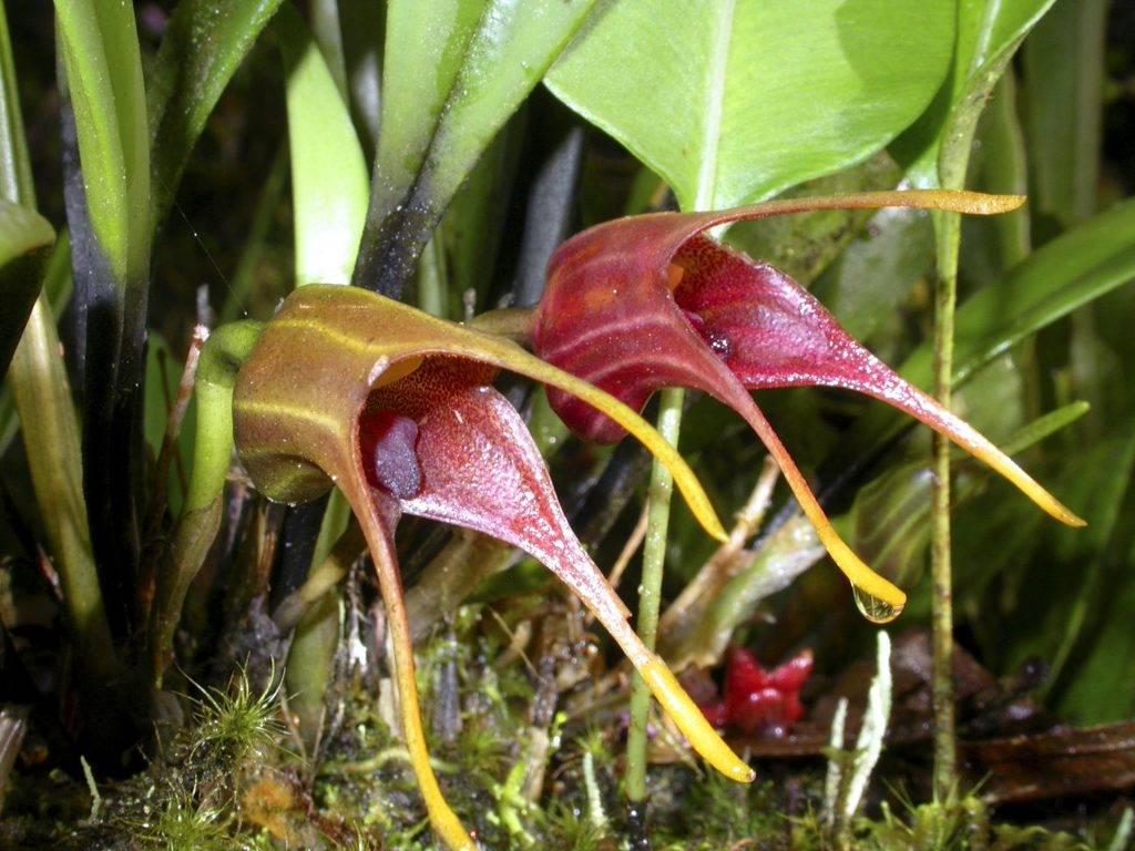 Орхидея масдеваллия: уход и размножение