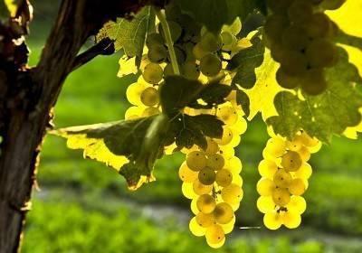 Виноград шардоне: характеристика и описание сорта, отзывы и фото