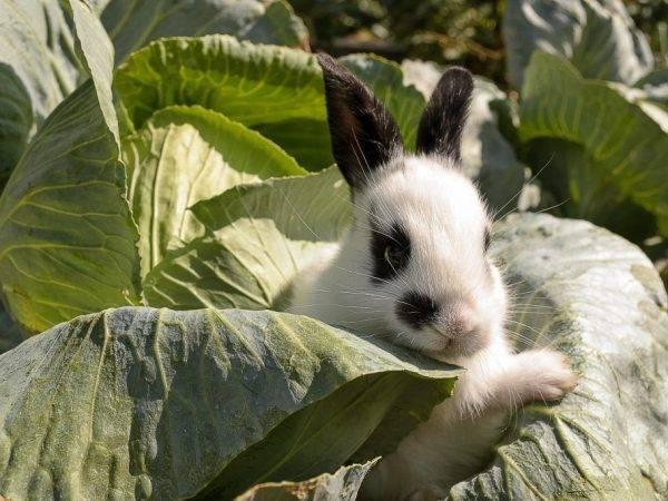 Кролики породы бабочка: разновидности, характеристики, описание, история, цена, нюансы разведения и содержания, отзывы (фото и видео)