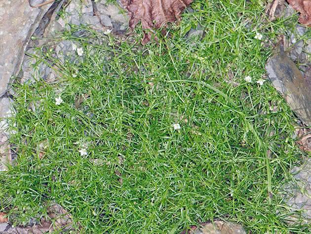 Мшанка шиловидная: выращивание из семян в открытом грунте, фото, посадка и уход