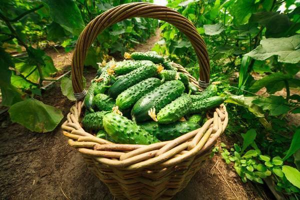 Пучковый огурец мэлс f1: отзывы, описание сорта, особенности и выращивание