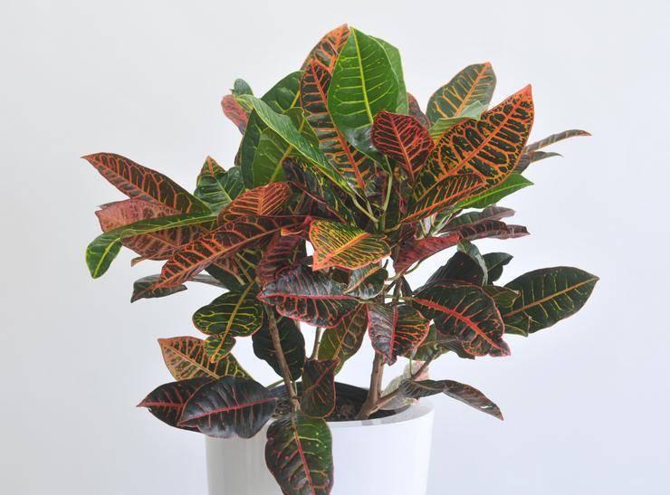 Кротон, или кодиеум: уход в домашних условиях, виды с фото, особенности выращивания, что делать, если сохнут и опадают листья + видео