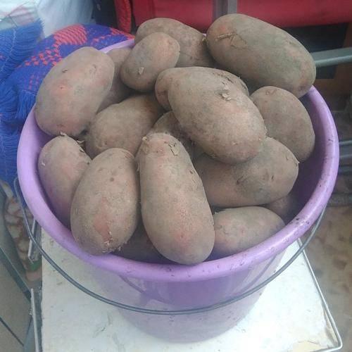 Самые урожайные сорта картофеля на сегодняшний день