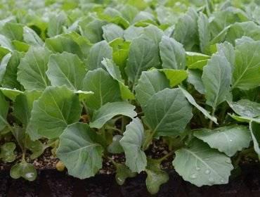 Как вырастить хорошую рассаду белокочанной капусты в домашних условиях: способы и приёмы