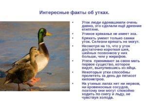 Домашняя утка - 105 фото и интересные факты о домашней птице