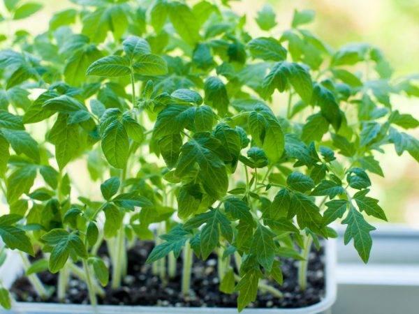 Посадка помидор в улитку юлии миняевой: как выращивать (видео)