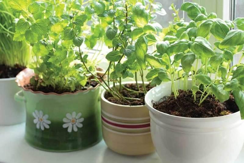 Руководство по выращиванию зелени на подоконнике в квартире