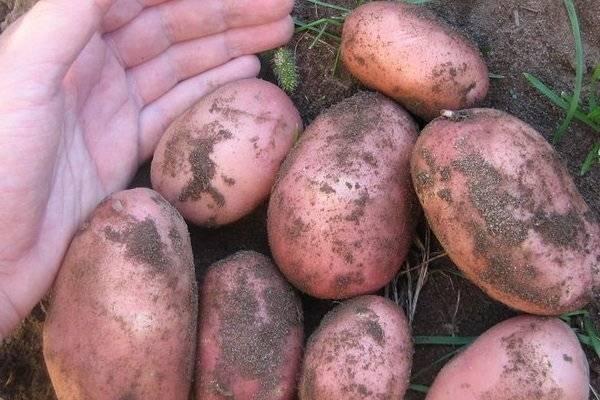 ᐉ сорта картофеля для западно-сибирского региона: список - roza-zanoza.ru