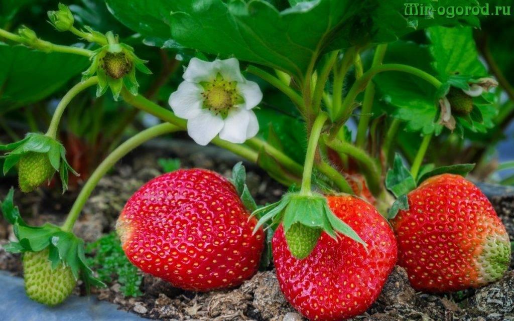 Подкормка клубники для хорошего плодоношения