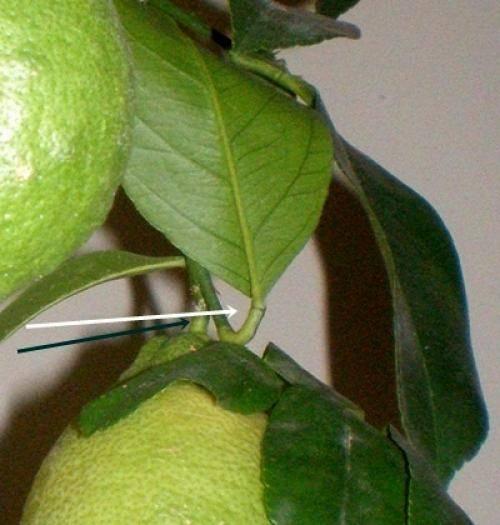 Чем отличается лайм от лимона чем отличается лайм от лимона