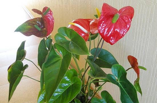 Антуриум: описание, выращивание, размножение и уход