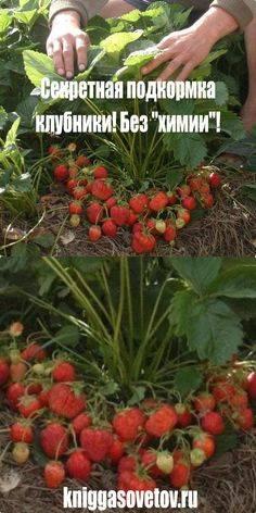 Повышаем урожай: какие подкормки нужны землянике во время цветения