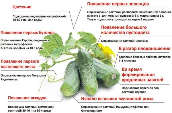 Чем подкормить огурцы для хорошего плодоношения?