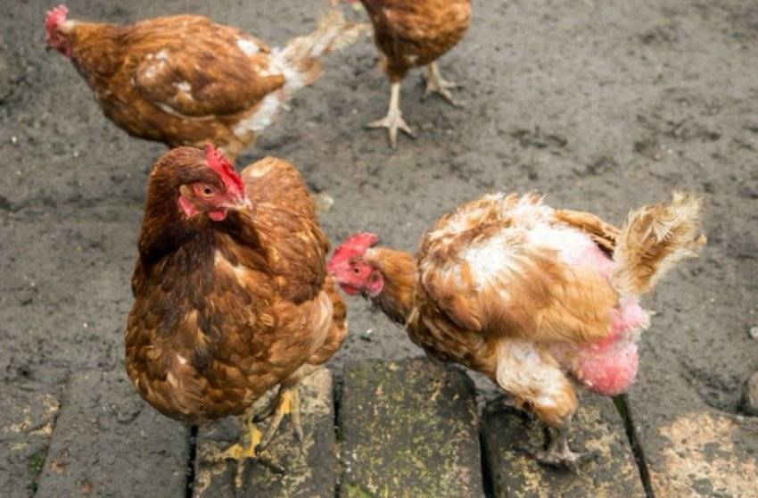 Почему курица клюет своих и чужих цыплят: что делать и в чем причина такого поведения?