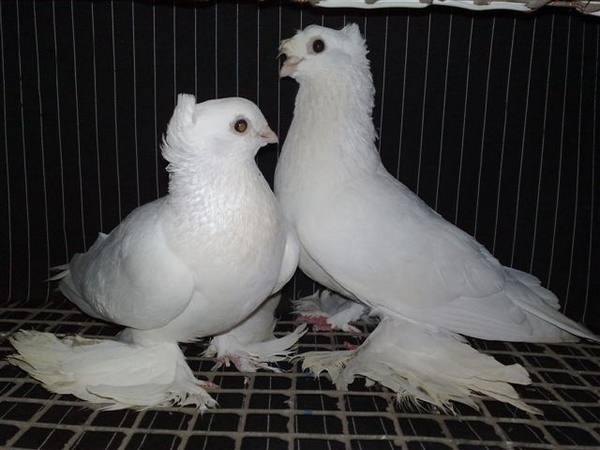 Бакинские бойные голуби: фото, описание, характеристика — selok.info