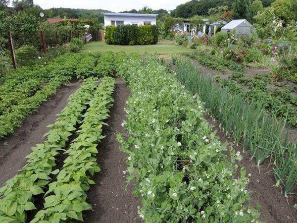 Как выращивать перец в теплице: особенности посадки и ухода, фото