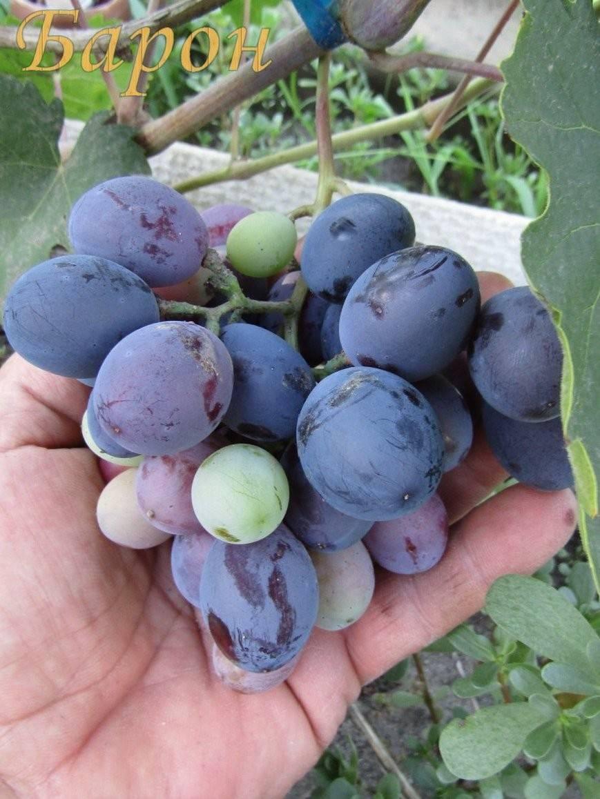 Виноград богема: описание сорта, фото, отзывы — selok.info