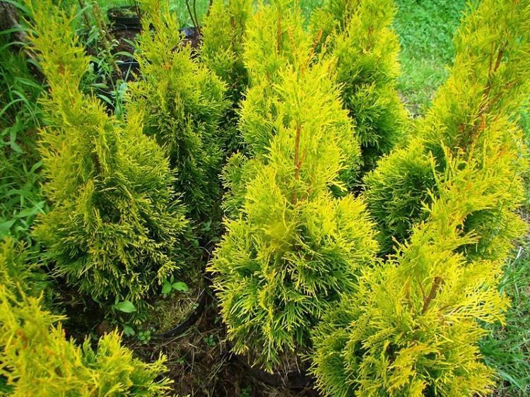 Туя голден смарагд (golden smaragd) — описание