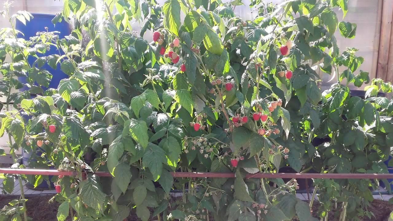 Малина шапка мономаха: описание сорта, особенности выращивания