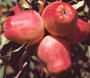 Описание и достоинства сорта яблони орловский кандиль